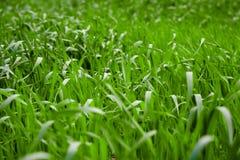 świeże trawy Obrazy Royalty Free