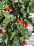 świeże truskawki Zdjęcia Royalty Free