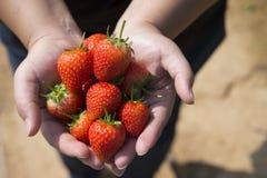 Świeże truskawki w ludzkiej ręce Obrazy Royalty Free
