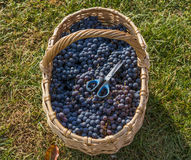 świeże winogrona Obrazy Royalty Free