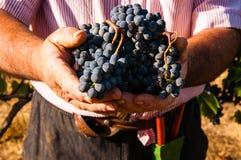 świeże winogrona Fotografia Royalty Free