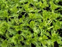 świeże zielona sałata Obraz Royalty Free