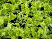 świeże zielona sałata Zdjęcie Royalty Free