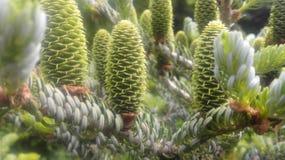 Świeże zielone igły Obrazy Royalty Free