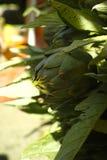 Świeże zielone karczocha kwiatu głowy z liśćmi przygotowywającymi gotować se Obraz Stock