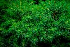 Świeże zielone ostrostożkowe jodeł gałąź Fotografia Stock