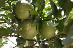 Świeże zielone pomarańcze na drzewie Zdjęcia Royalty Free