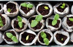 Świeże zielone rozsady zdjęcie royalty free