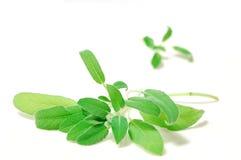 świeże zielone szałwie fotografia stock