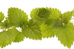 świeże zioła obraz stock