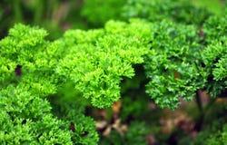 świeże zioła Zdjęcie Stock