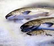 świeżego łososia Obraz Royalty Free