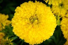 Świeżego kwiatu koloru żółtego tło Zdjęcia Royalty Free