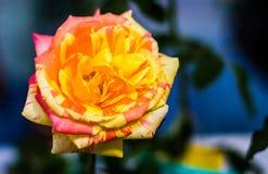 Świeżego kwiatu piękny jaskrawy Zdjęcie Stock