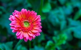 Świeżego kwiatu piękny jaskrawy Zdjęcia Stock