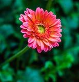 Świeżego kwiatu piękny jaskrawy Zdjęcie Royalty Free