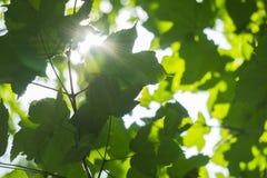 Świeżego potomstwa zielonego ulistnienia słońca jaskrawy światło, zamyka w górę strzału Zdjęcie Stock