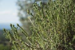 Świeżego zielonego tymiankowego Thymus zielarski dorośnięcie w ogródzie Obrazy Royalty Free