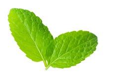 Świeżej mennicy zielarski biały tło obrazy royalty free