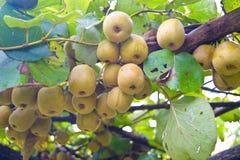świeżej owoc kiwi Fotografia Royalty Free