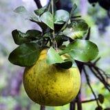 świeżej owoc winogrona drzewo Fotografia Stock