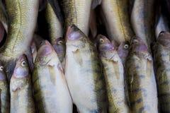 Świeżej ryba zakończenie Zdjęcia Stock