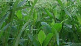 Świeżej trawy makro- zakończenie w górę FHD zbiory wideo
