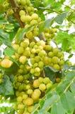 Świeżej zieleni gwiazdy agrestowy drzewo w ogródzie Zdjęcie Stock