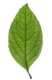 świeżej zieleni odosobniony liść Zdjęcie Stock