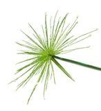 świeżej zieleni odosobniony liść biel Obrazy Stock
