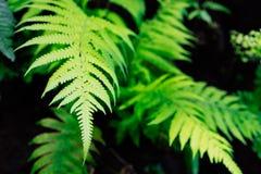 Świeżość bujny zieleni paproć opuszcza na czarnym tle obrazy royalty free