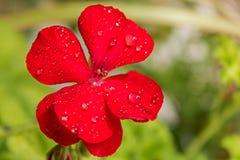 Świeżość czerwony kwiat w ranku obrazy royalty free