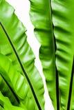 Świeżość i duzi liście Bird& x27; s gniazdeczka paproć Fotografia Stock