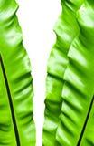 Świeżość i duzi liście Bird& x27; s gniazdeczka paproć Obrazy Stock