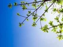 świeżość liście na niebieskiego nieba i światła słonecznego tle obrazy royalty free