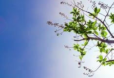 świeżość liście na niebieskiego nieba i światła słonecznego tle zdjęcie royalty free