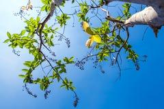 świeżość liście na niebieskiego nieba i światła słonecznego tle obraz royalty free