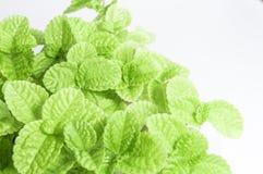 Świeżość liście ornamentacyjna roślina jako natury tło zdjęcia stock