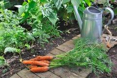 Świeżość marchewki w ogródzie zdjęcia royalty free