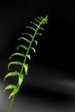 Świeżość Paprociowy liść na czarnym tle zdjęcie royalty free