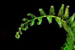 Świeżość Paprociowy liść na czarnym tle obraz royalty free