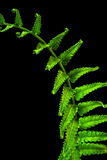 Świeżość Paprociowy liść na czarnym tle zdjęcie stock