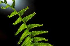 Świeżość Paprociowy liść na czarnym tle fotografia royalty free