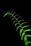 Świeżość Paprociowy liść na czarnym tle fotografia stock
