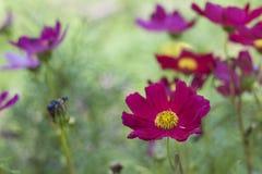 Świeżość purpurowy kosmos kwitnie w ogródzie z zielony naturalnym obraz royalty free