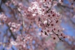 świeżość, wiosna, szczegóły czereśniowi okwitnięcia z piękną szpilką zdjęcie stock