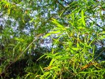 Świeżość zielonego koloru liść bambus obraz royalty free