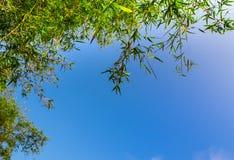 Świeżość zielonego koloru liść bambus zdjęcie royalty free
