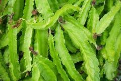 Świeżości Psophocarpus tetragonolobus zdjęcie royalty free