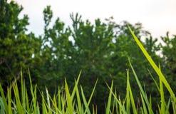 Świeżości zielenista zieleń Vetiver trawy ostrze obraz stock